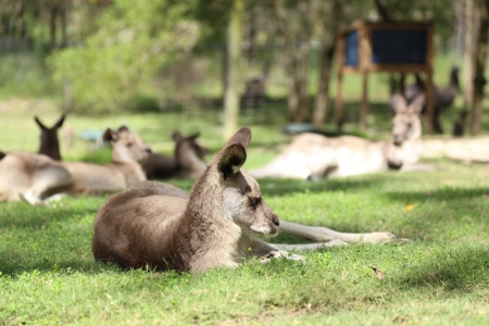 a kangaroo lying on grass Stock Photo