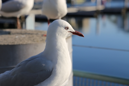 Profile of seagull