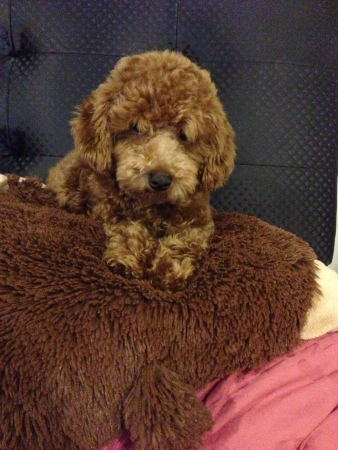 Brown toy poodle resting paws on a furry pillow  Stock Photo