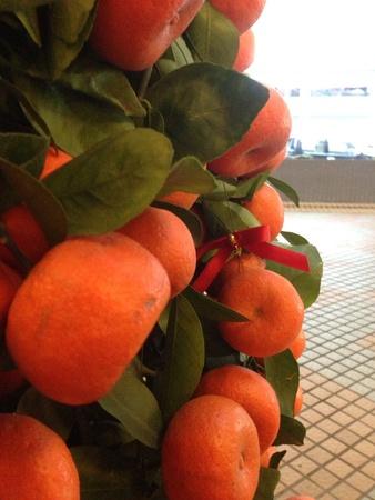 Close up juicy mandarin orange plant 2014 Lunar New Year decoration Stock Photo