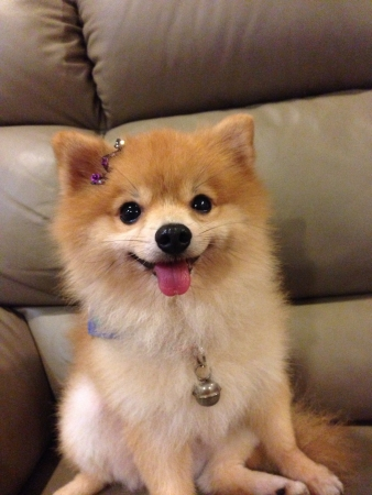 Cute Pomeranian Dog sitting on sofa