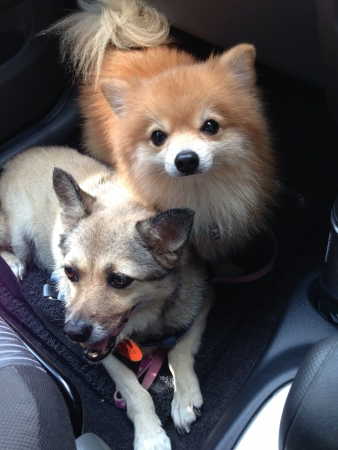 Dogs sitting inside car