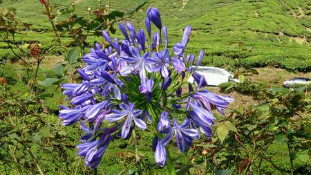 violette fleur: Plantation de th� paysage avec fleur pourpre Banque d'images