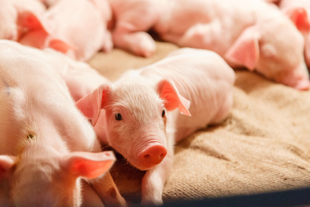 lactation: Cute lactation piglet in pig farm