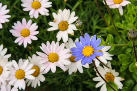 blue daisy: Blue daisy outstanding among white daisy