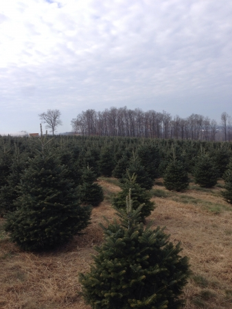 Christmas tree farm scene
