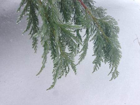 Norway Spruce frozen branch