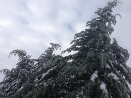 Norway Spruce trees in winter.