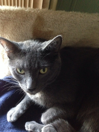 gray cat: Grumpy gray cat