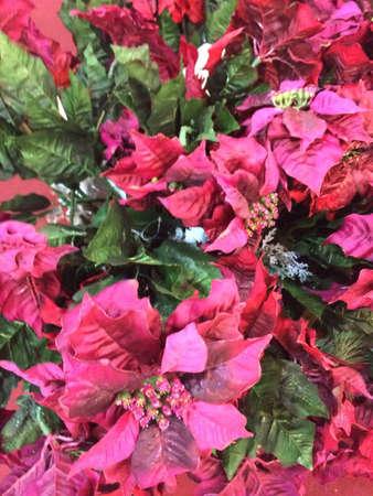 bougainvilleas: Bougainvilleas flowers Stock Photo
