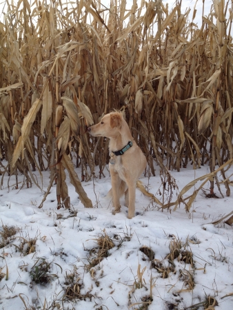 corn stalks: A dog standing in front of corn stalks in the winter