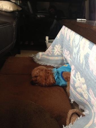 Dog sleeping under a kotatsu 版權商用圖片 - 24734618