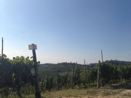 Vineyard in Piedmont Langhe Italy