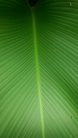 indica: Close up of Canna Indica leaf Stock Photo
