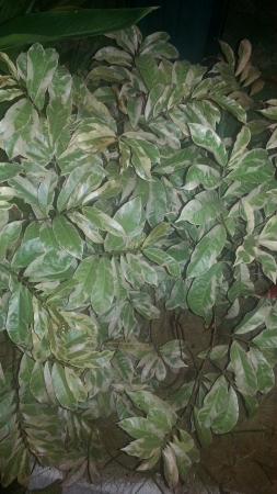 variegated: Variegated leaves