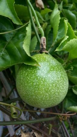 passiflora: Passionfruit Passiflora Edulis Flavicarpa