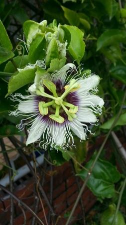 passiflora: Passionfruit flower Passiflora Edulis Flavicarpa