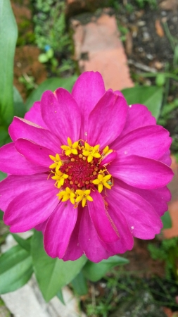 stamens: Pink Marigold with yellow stamens