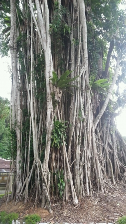 aerial roots: Ficus aerial roots