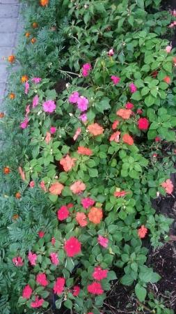 impatiens: Una cama de flores Impatiens Foto de archivo