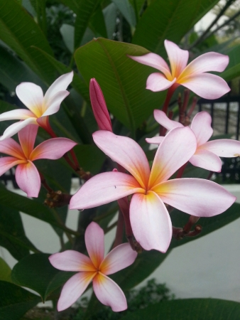 centred: A cluster of pink Frangipani Plumeria Stock Photo