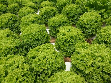 lettuces: The lettuces