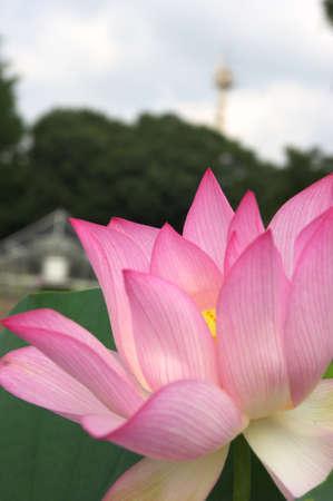 pink lotus photo