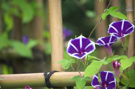 purple morning glory photo