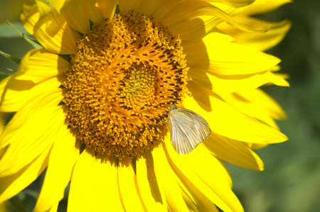 butterfly on sunflower photo