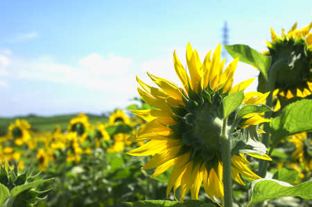 sunflower garden photo