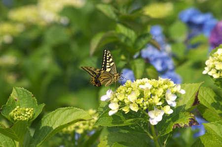 butterfly on hydrangea photo