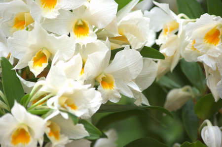 white and yellow orchid photo