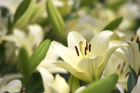 white and yellow lily photo