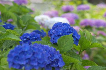 blue hydrangea photo