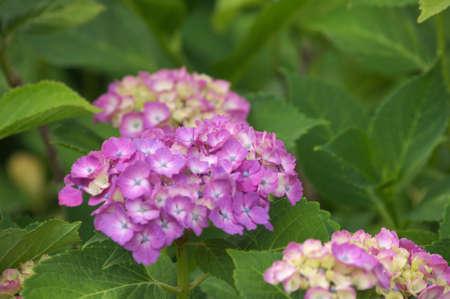 pink hydrangea photo