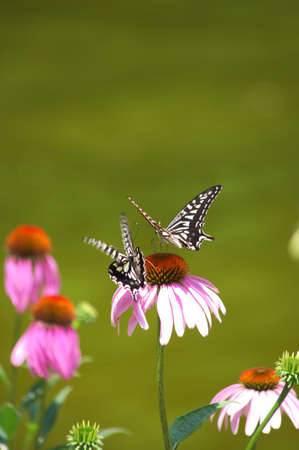 butterfly on pink flower Stock Photo - 17370586