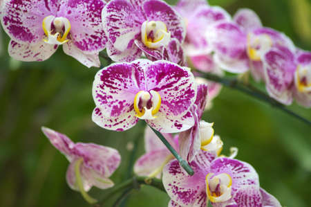 white and purple orchid photo