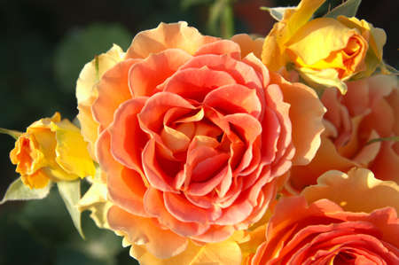 orange rose photo