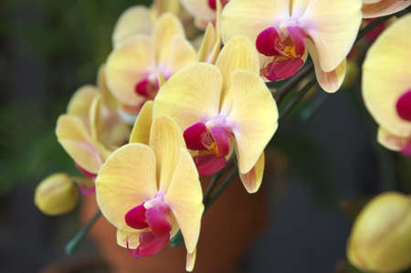 cream and purple orchid Stock Photo - 14822827