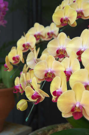 cream and purple orchid photo