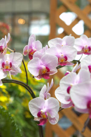 white and purple orchid Stock Photo - 14786127