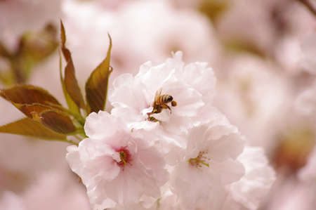 bee on cherry tree photo