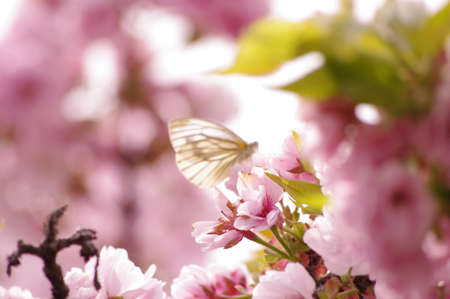 butterfly on cherry tree photo