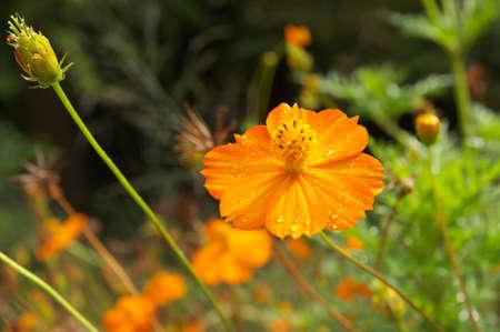 orange cosmos photo