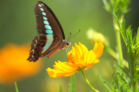 butterfly on cosmos photo