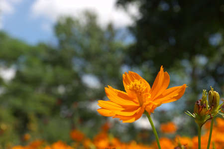 orange cosmos photo