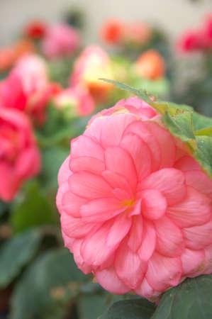 large pink begonia photo