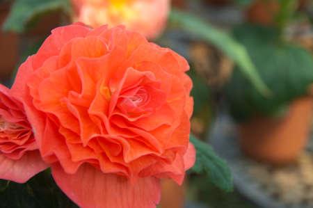 large orange begonia photo