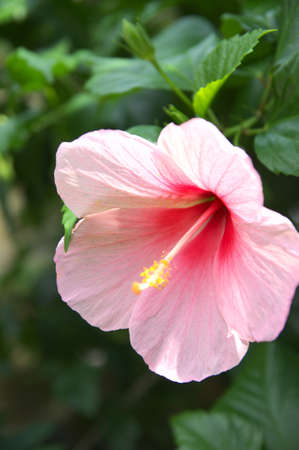 pink hibiscus photo