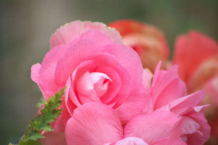 large pink begonia photo